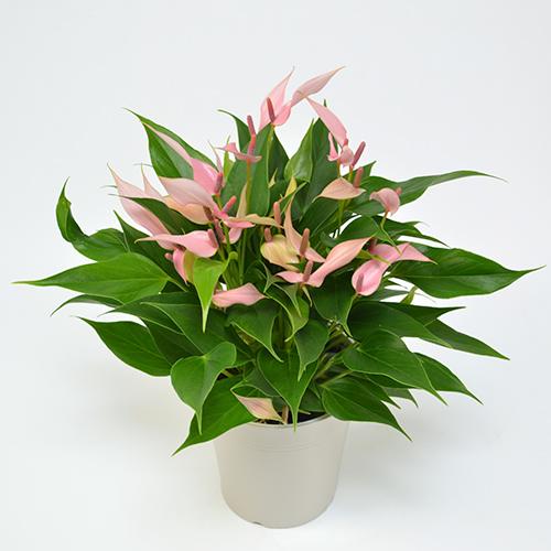 淡いピンクの花包のアンスリュームの画像