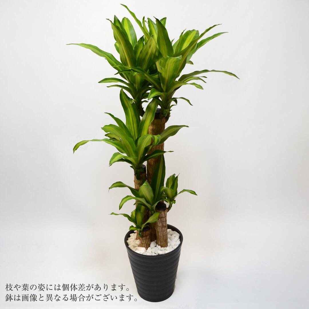 ドラセナ・マッサンゲアナ<幸福の木>