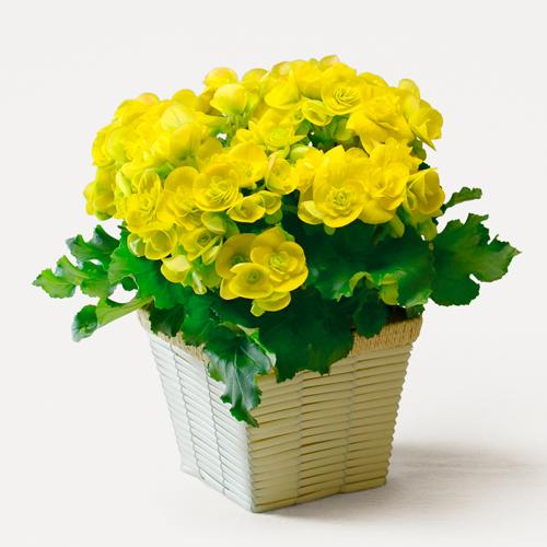 ベゴニア(黄色)の花鉢