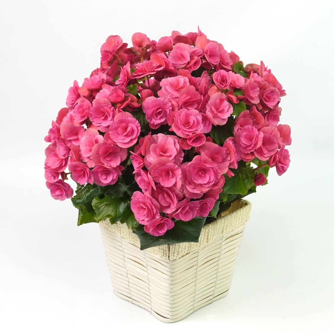 ベゴニア(ピンク)の花鉢