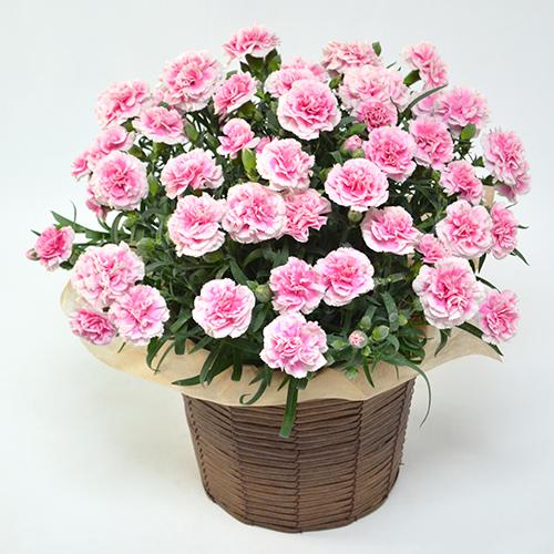 ピンクのカーネーションの鉢の画像