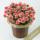濃いピンクのカーネーションの鉢の画像