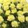 黄色いカーネーションの鉢の画像