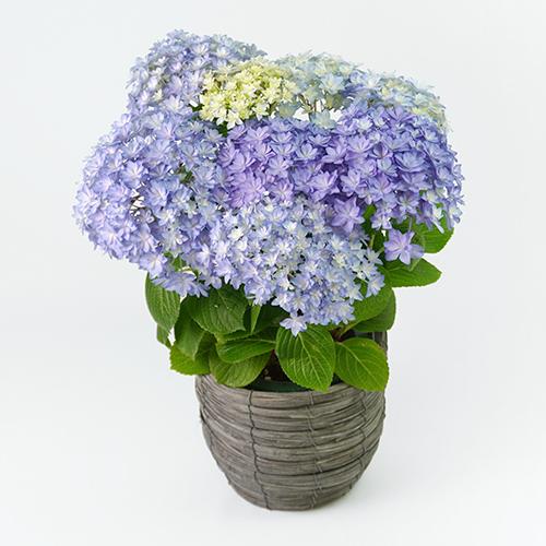 淡いブルーのハイドランジアの画像