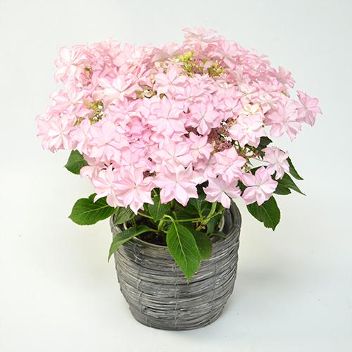 淡いピンクの紫陽花の画像