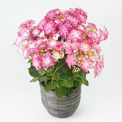 ピンクのハイドランジアの画像