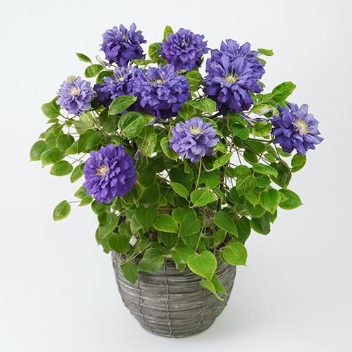 濃い青紫のクレマチスの画像