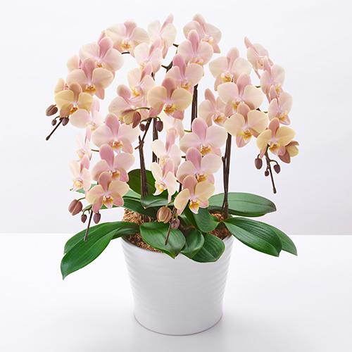 ベージュのミディ胡蝶蘭の画像