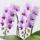 淡いピンクのミディ胡蝶蘭の画像