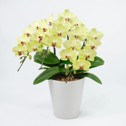 レモンイエローのミディ胡蝶蘭の画像
