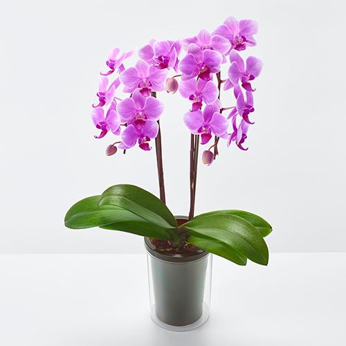 ピンクに白い縁取りのミディ胡蝶蘭の画像