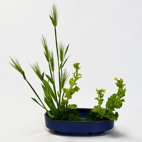 麦いけばな花材<麦・菜の花など>