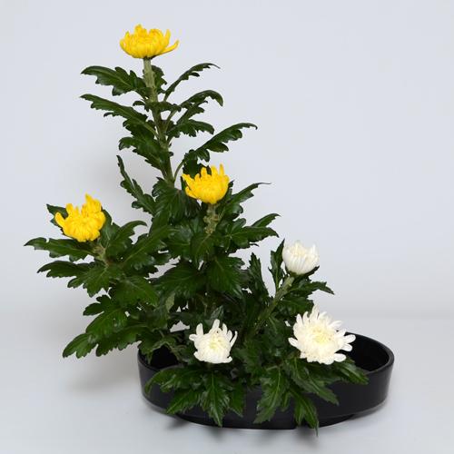 菊いけばな花材 <黄色三輪・白三輪>