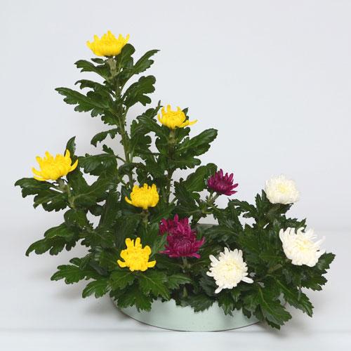 菊いけばな花材 <黄色五輪・赤三輪・白三輪>