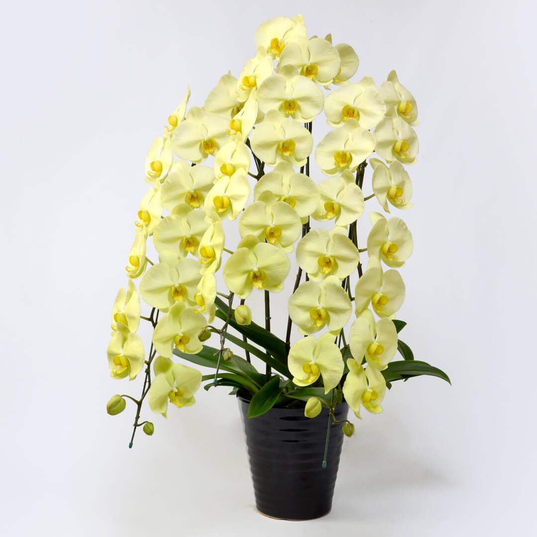 胡蝶蘭<ゴールデンアポロン>(大輪・黄色・3本立ち)