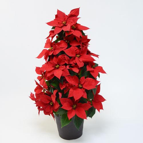 ポインセチアツリー型(赤)6号鉢
