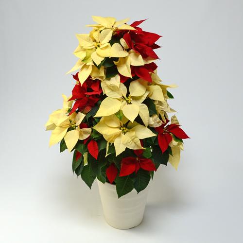 赤と黄色のポインセチアツリー型
